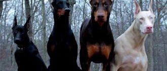 Доберман: фото собаки, особенности породы, дрессировка и уход