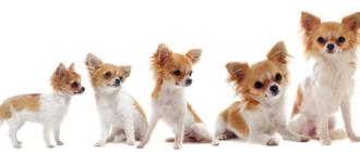 Длинношерстные чихуахуа: фото собаки, история породы, особенности