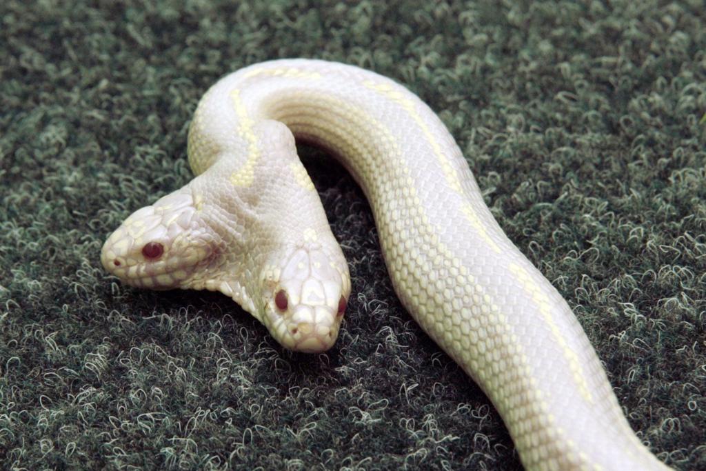 Одна голова - хорошо, а две - мутация. Как живут Двухголовые змеи?