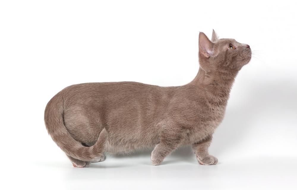 Такса в мире кошек: порода Манчкин