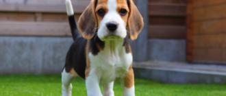 Бигль: фото собаки, история породы, уход и содержание