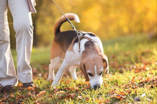 Карманный охотник - собака Бигль