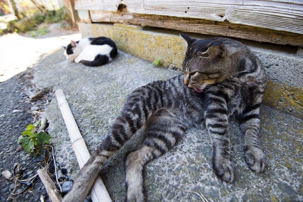 Остров, который захватили кошки - Фраджост, Япония