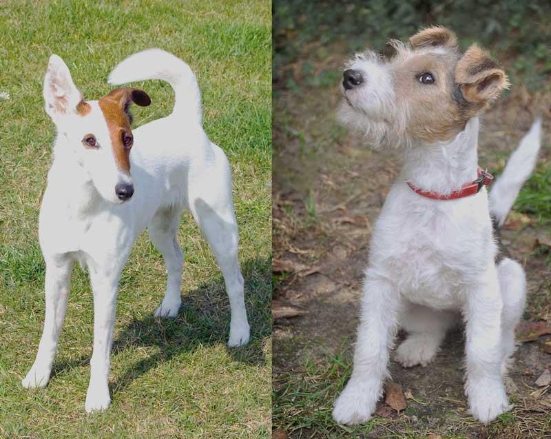 Бесконечно преданный хулиган: собаки породы Фокстерьер
