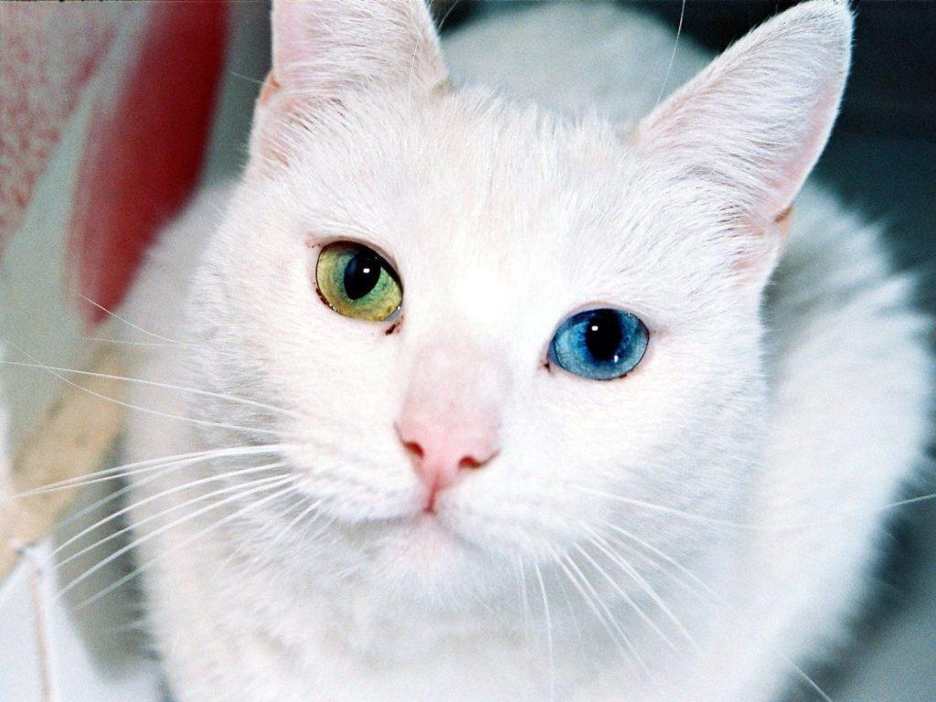 Кошки, которые не линяют: фото, породы, сравнение, особенности
