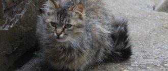 Кот пропал: причины, что делать, где искать