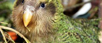 Какапо: фото попугая, внешний вид, ареал обитания, особенности
