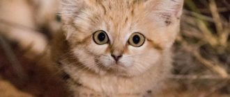 Барханный кот: фото вида, ареал обитания, особенности