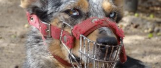 Бойцовские породы собак: названия, особенности, характер