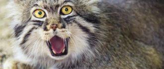 Манул: фото кошки, внешний вид, ареал обитания, особенности