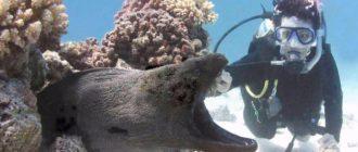 Мурена: фото рыбы, внешний вид, ареал обитания и особенности