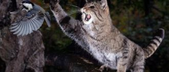 Лесной кот: фото, внешний вид, ареал обитания, особенности