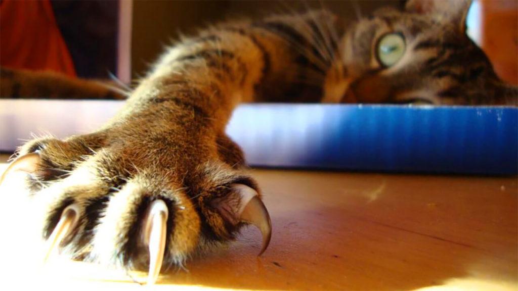 Удаление когтей у кошек: фото, процедура, опасность