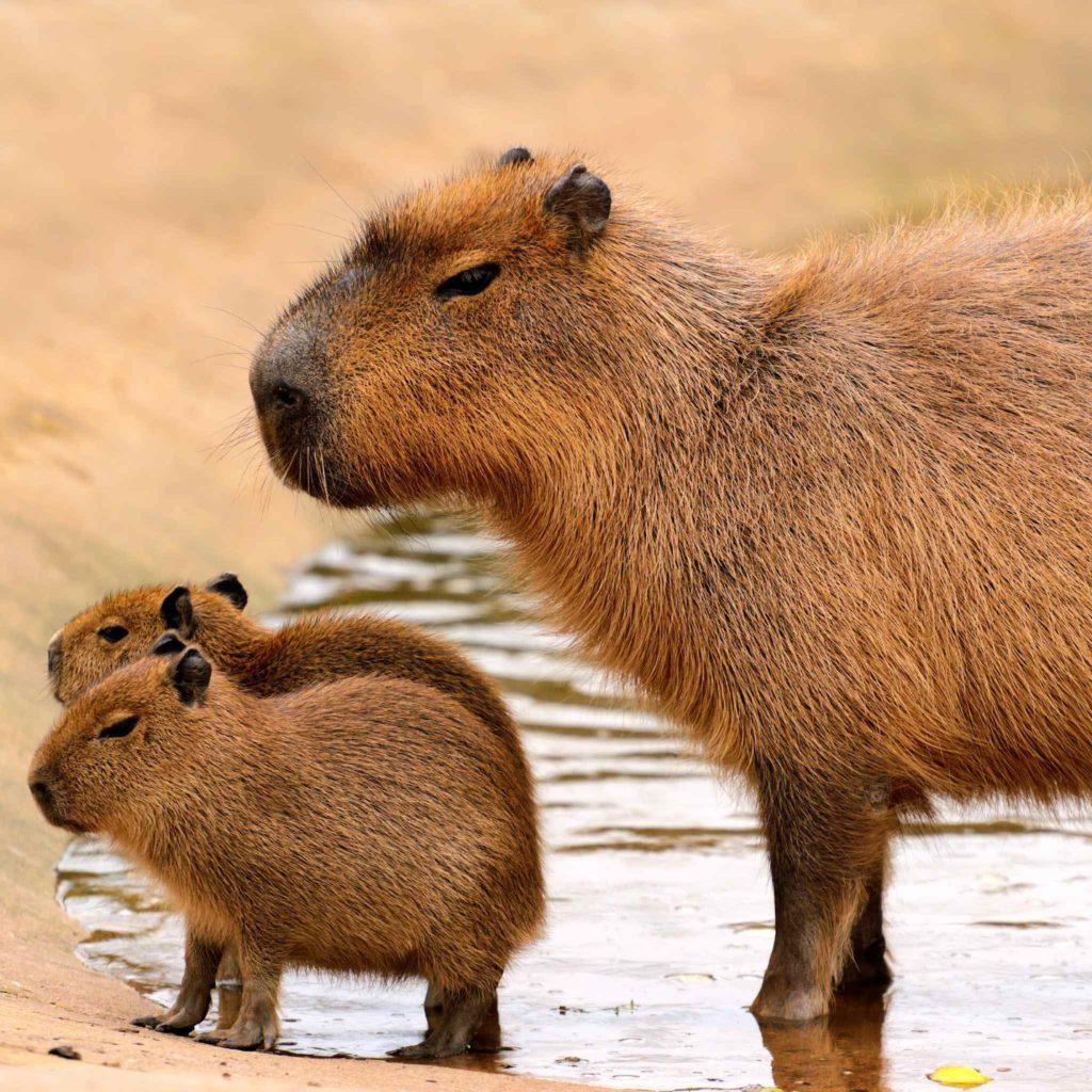 Тусовщик мира животных - неповторимая Капибара