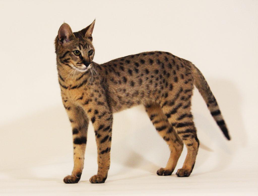 12 самых дорогих пород кошек в Мире