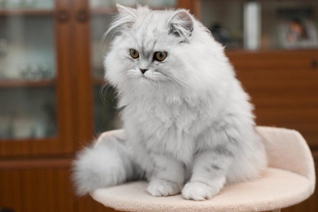 картинки кошек породистых пушистых бывает короткой