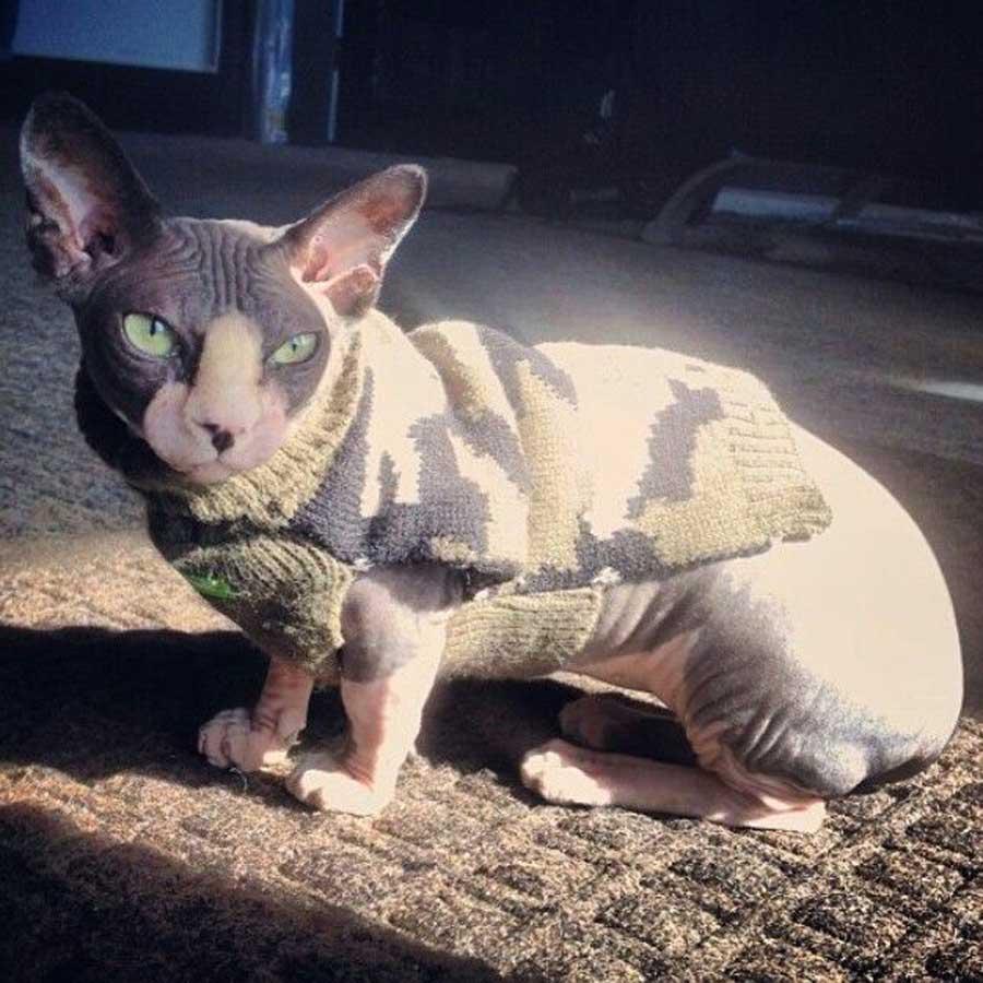 Кот Бамбино - лысая Такса в мире кошек