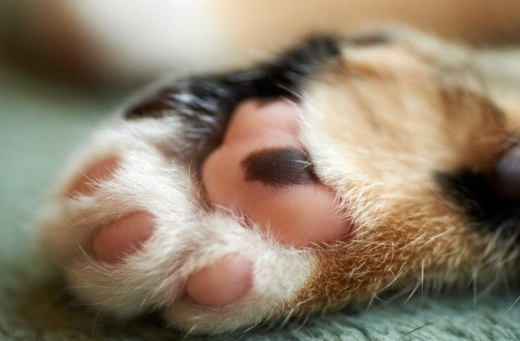 Удаление когтей у кошек: стоит ли делать и гуманно ли это?