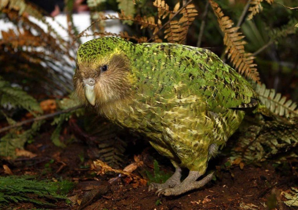 Какапо: Самый большой и редкий попугайский