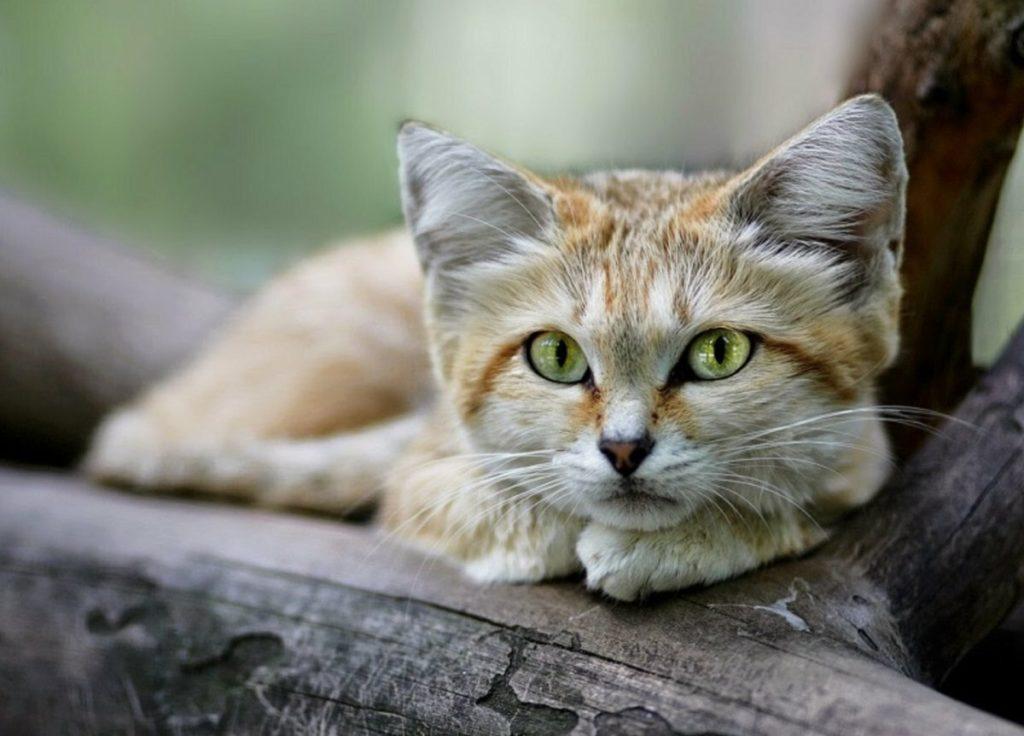 Барханный кот: самая маленькая ушастая милота в Мире