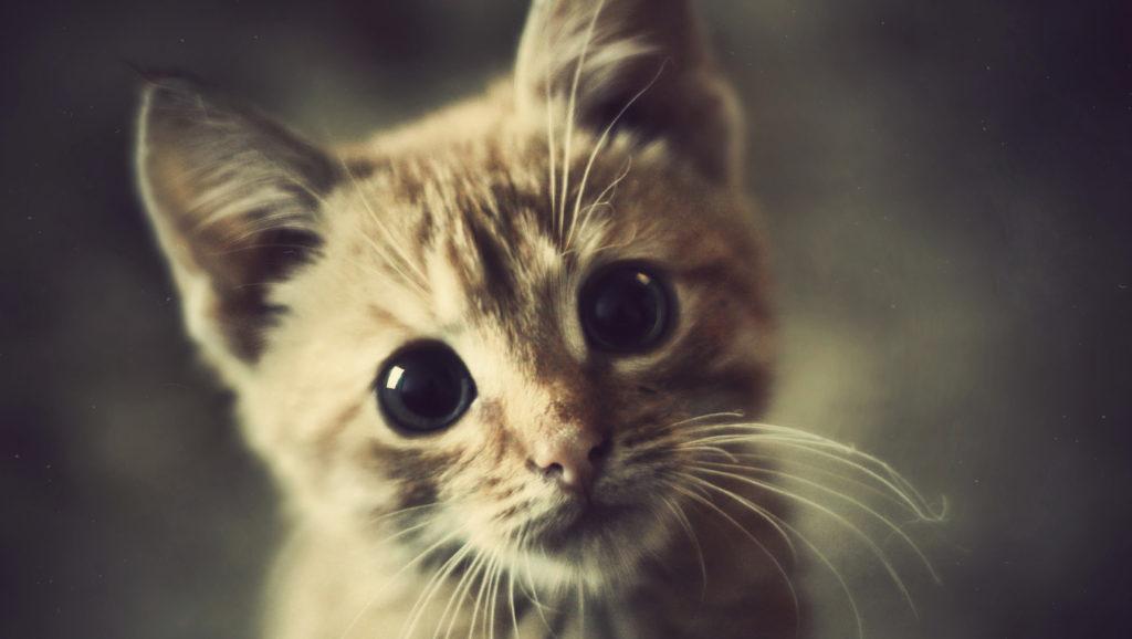 Какие кошки считаются беспородными, а какие породистыми? И как это определяется?