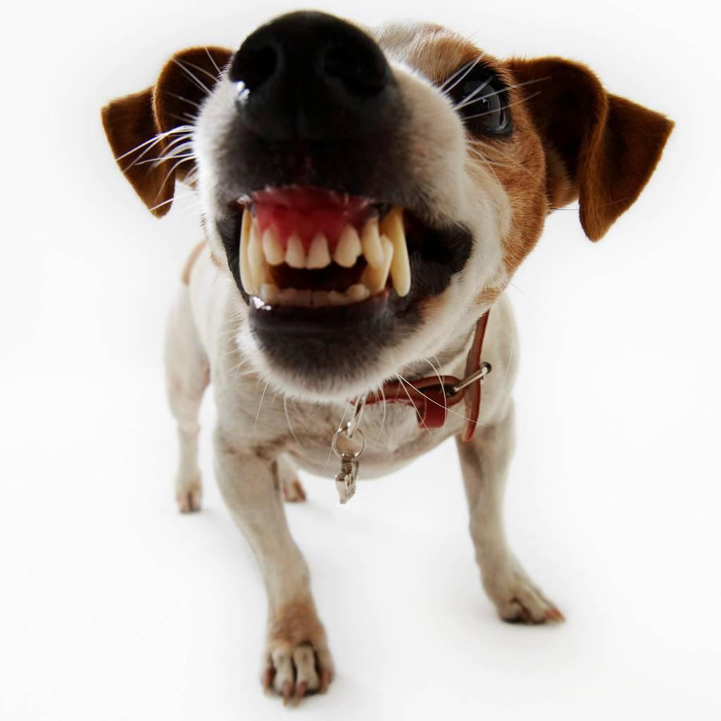 Бойцовские породы собак - зачем их заводят и чем они отличаются?