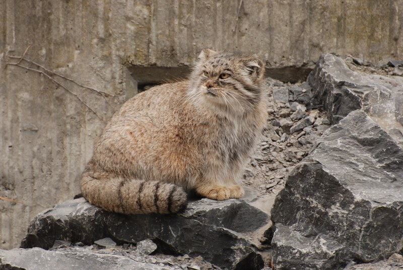 Манул: сильный и независимый котяра