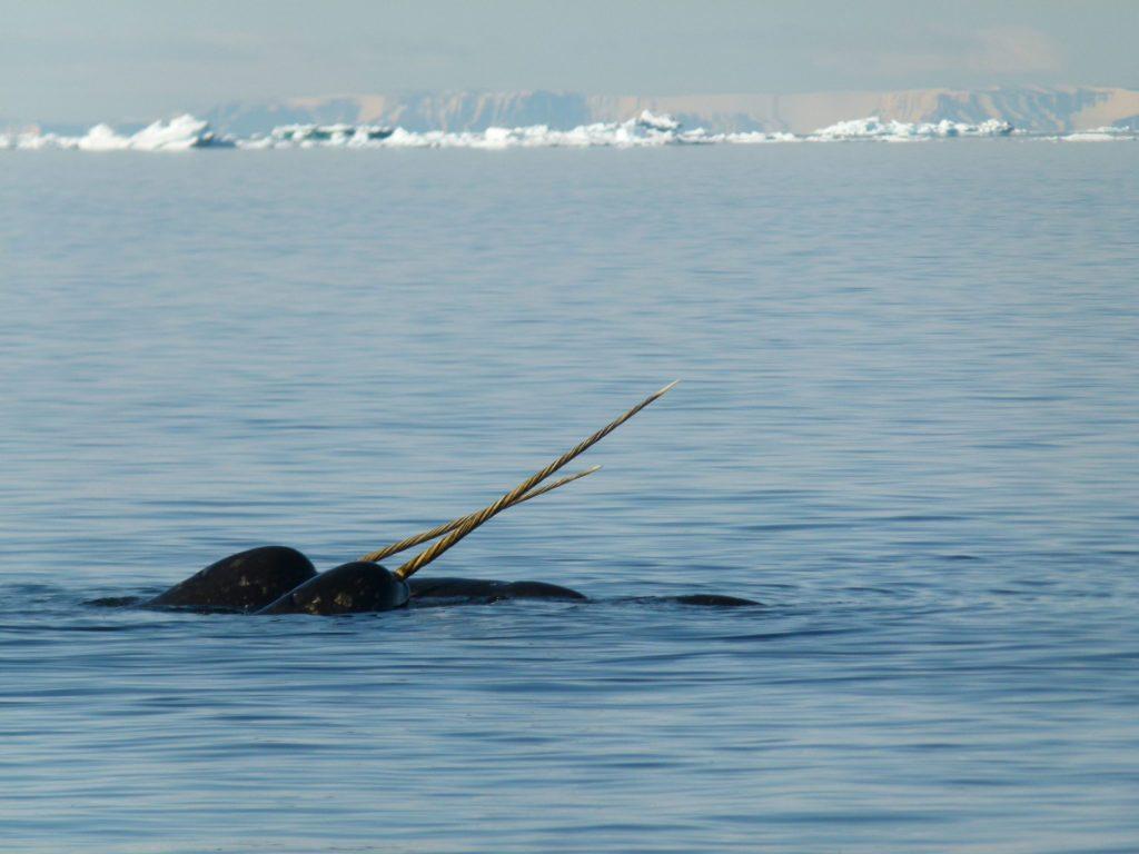 Нарвал - морской единорог