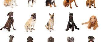 Охотничьи собаки: породы, фото, внешний вид, характер и уход