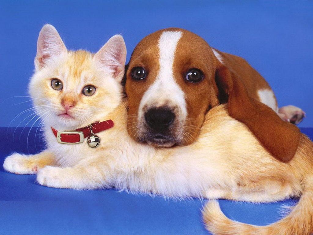 Как кошка с собакой: как подружить двух питомцев?