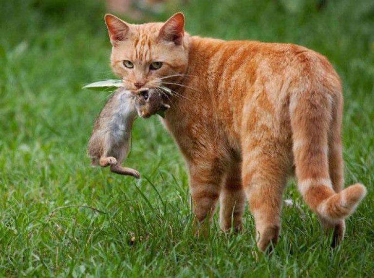 Пушистый кормилец: почему кошки несут домой убитых животных