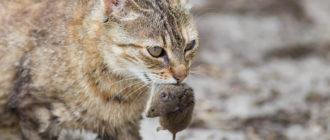 Кошка приносит мышей: фото, причины, что делать
