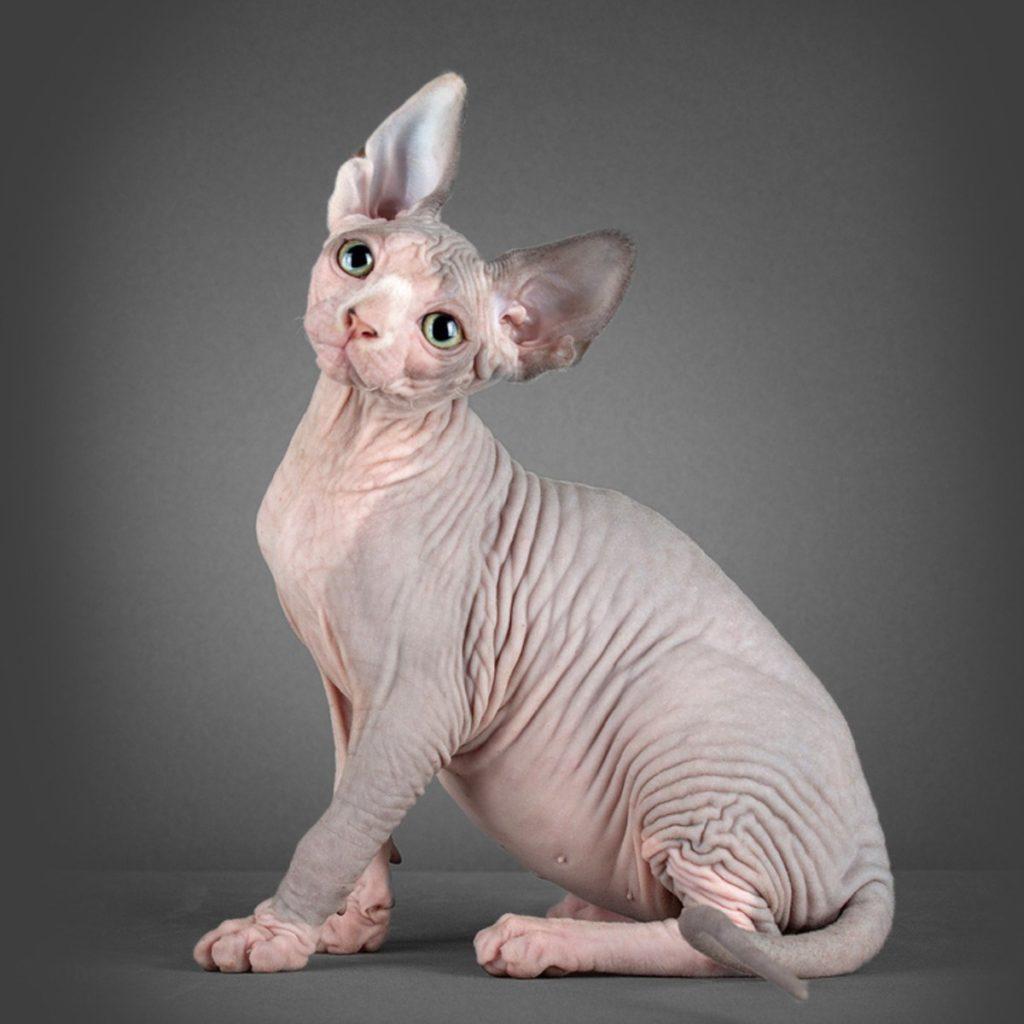 Пушистая бестия - характер различных пород кошек
