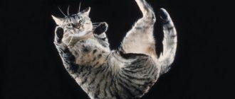 Кошка падает: фото, эксперимент, исследования, причины