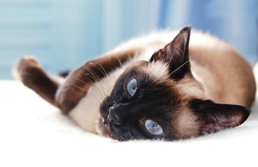 Топ 7 самых умных пород кошек