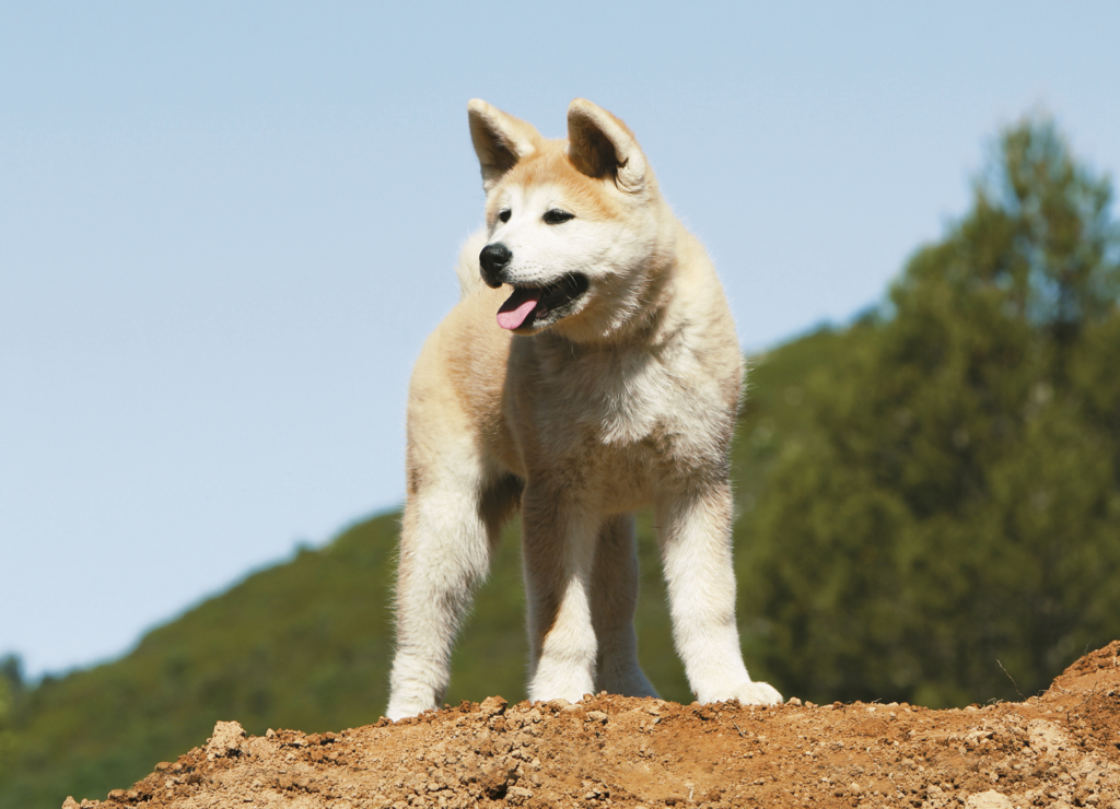 Топ 13 охранных пород собак для квартиры