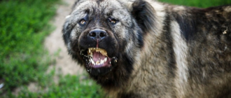 Охранная собака: породы, фото, качества, характер, уход