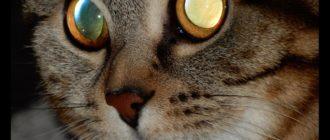 Глаза кошки: фото, строение, цвета, как видят, особенности