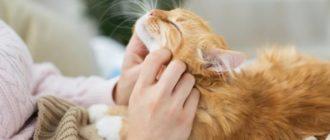 Кошка любит человека: признаки, причины, характер, поведение