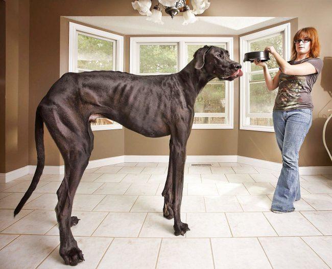 Топ самых больших собак в мире: Зевс и его «друзья»