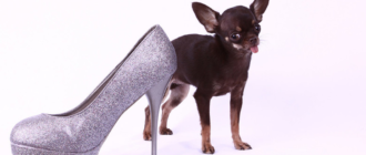 Милли чихуахуа: фото собаки, размер, клонирование, новости