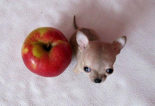 Милли: Самая маленькая собака в мире и 49 её клонов