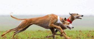 Самая быстрая собака: фото, порода борзая, рекорд Гинесса