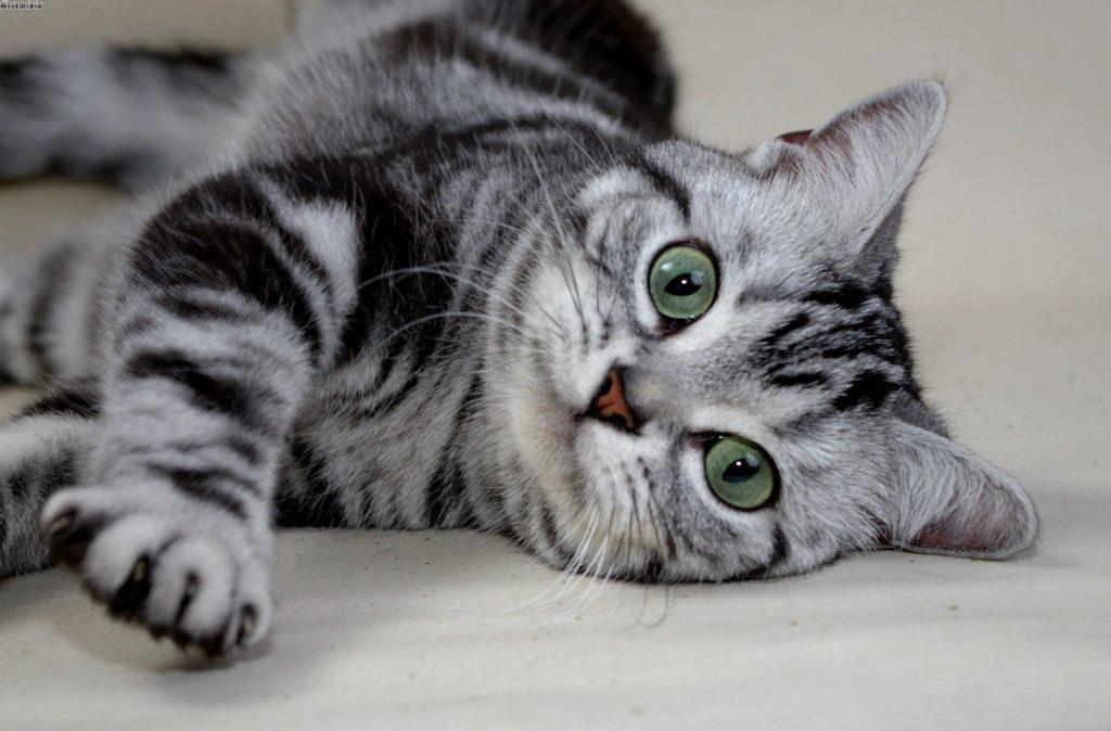 Топ 7 Самых милых пород кошек