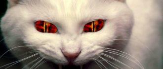 Злая кошка: фото, характер, причины, поведение, что делать