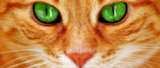 Мир глазами кошек: как выглядит, зрение, особенности