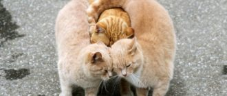 Дружелюбные кошки: породы, названия, фото, поведение, характер