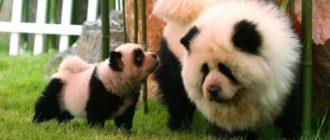 Панды крашенные собаки: фото, новости, Китай, причины