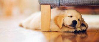 Собаки для квартиры: породы, фото, содержание, уход