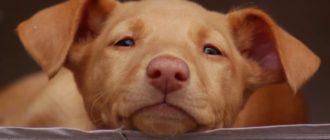 Фараонова собака: порода, фото, история, особенности